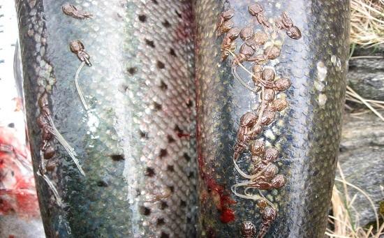 рыбные паразиты на лососе.jpg